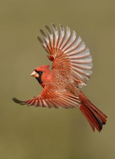 cardinals are my mothers favorite bird (red is also her favorite color) and this bird (in addition to the red tailed hawk) resonate with my mother, she often feels John's making his presence known.