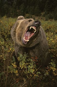 Roaring Grizzly Bear Photograph by Rebecca Grambo