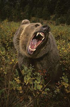 Nature Animals, Animals And Pets, Cute Animals, Wild Animals, Baby Animals, Bear Photos, Bear Pictures, Majestic Animals, Animals Beautiful
