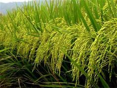 Effects of nitrogen sources and application time on yield attributes, yield and grain protein of rain-fed rice in Gambella, Ethiopia Agriculture Pictures, Rice Crop, Rice Plant, Best Island Vacation, Thai Rice, Best Thai, Beautiful Flowers Wallpapers, Jasmine Rice, Planting Vegetables