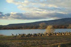 Geese by the lake near Delta, CO, near Linda's farm.