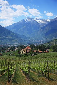 Vineyard at Merano/ Meran, South Tyrol, Alto Adige_ Italy