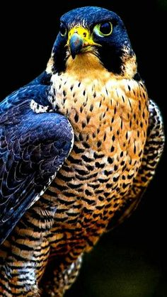 The peregrine falcon (Falco peregrinus), also known as the duck hawk in North America, is a widespread bird of prey. All Birds, Birds Of Prey, Love Birds, Pretty Birds, Beautiful Birds, Animals Beautiful, Beautiful Pictures, Peregrine Falcon, Tier Fotos