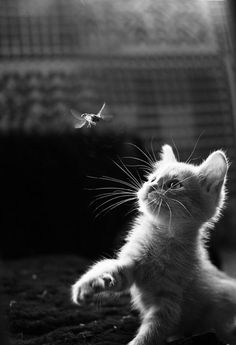 Attack of the Cute - A black and white image of a kitten swatting at a hummingbird.