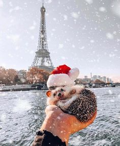 Pokee the Hedgehog ( mr.pokee ) - It's beginning to look a lot like Christmas 🦔🎅🏼❄️ . **Not real snow. Never take your pet hedgehogs out in the snow! Baby Animals Super Cute, Cute Little Animals, Cute Funny Animals, Baby Animals Pictures, Cute Animal Pictures, Animals And Pets, Hedgehog Pet, Cute Hedgehog, Cute Puppies