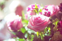 Rosa rosa !
