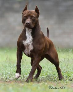 Gringa 2 Years Old Breed ➡️ American Pit Bull Terrier From @canilkalibpit brazil American Pit, Pitbull Terrier, Pit Bull, Year Old, Brazil, Dogs, Animals, Pitbull, One Year Old