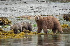 """Grizzly Bear (Ursus arctos horribilis) female """"Bella"""" with her two cubs walk along the shores of Knight Inlet on the west coast of British Columbia."""