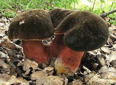 Hřib kovář (Latinsky: Boletus luridiformis)