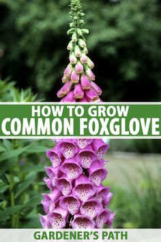 Common foxglove features tubular blossoms in eye-catching shades of cream, pink, purple, red, yellow, and white on tall upright stalks that are attractive to bees and hummingbirds. Learn how to grow and care for common foxglove in your garden now on Gardener's Path. #foxglove #flowergarden #gardenerspath Growing Flowers, Planting Flowers, Flower Gardening, Gardening For Beginners, Gardening Tips, Budget Flowers, All About Plants, Low Light Plants, Flowering Shrubs