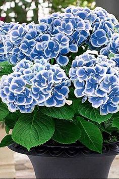 Bicolor Blooms - 29 Ways to Grow Hydrangeas in Containers - Southernliving. Plant this duo-chrome blooming shrub, Hydrangea macrophylla 'Bavaria,' for a summery, sun-loving, and eye-catching container. See the Pin
