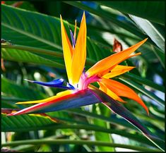 Birds of Paradise.. My fathers favorite flower & my next tattoo to remember my father by <3