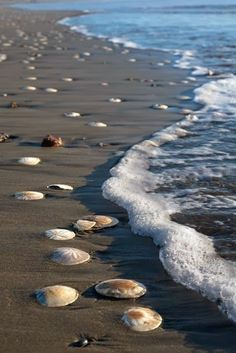 sand dollars on the beach