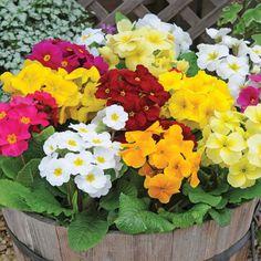 Primrose (Scented) - Cottage Garden Plants - Van Meuwen
