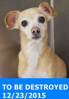 SAFE 12-27-2015 --- Manhattan Center  My name is COOKIE. My Animal ID # is A1060990. I am a female tan and white chihuahua sh mix. The shelter thinks I am about 6 YEARS old.  I came in the shelter as a STRAY on 12/19/2015 from NY 10458, owner surrender reason stated was STRAY. http://nycdogs.urgentpodr.org/cookie-a1060990/