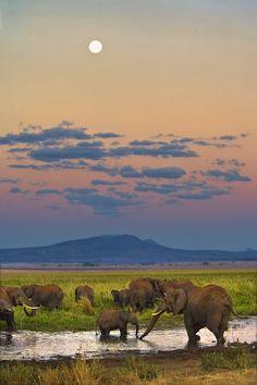 Twilight Elephants, Tanzania