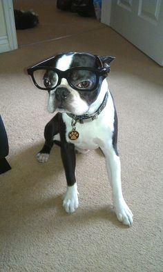 Boswell the Boston Terrier with his Black Glasses - http://www.bterrier.com/boswell-the-boston-terrier-with-his-black-glasses/