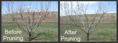 Before and After Pruning Peach Tree