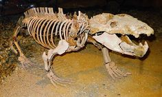 Chiniquodon is a genus of carnivorous cynodont, which lived during the early Late Triassic in South America. Chiniquodon is closely related to a contemporary genus, Probelesodon, and close to the ancestry of mammals.