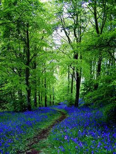 ✯ Bluebell Path - Fife, Scotland