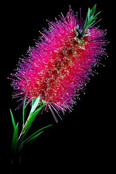 Bottlebrush .... Flower images taken with a dark background providing a dramatic effect for such beautiful blooms.