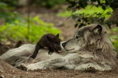 wolveswolves:   By National Geographic