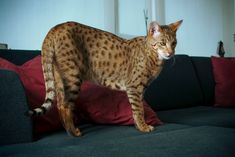 The Savannah is a hybrid domestic cat breed. It is a cross between a serval and a domestic cat. - History Savannah cats are the name give. Rare Cats, Exotic Cats, Cats And Kittens, Big Cats, Siamese Cats, Large Domestic Cat Breeds, Large Cat Breeds, Gato Serval, Ashera Cat