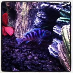 Blue zebra chiclid