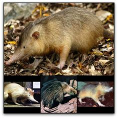 The strange solenodon is a mammal found primarily in Cuba and Hispanola. Sure, it looks cute and manageable enough – sort of like an over-sized hedgehog. However the solenodon injects rattlesnake-like venom through its teeth, the only mammal to do so. Easily annoyed, the solenodon bites at the drop of a banana leaf. Still, being both a carrion feeder and insectivore, it is a vital species in its ecosystem. It was thought to be extinct until scientists found a few still alive in 2003. Amphibians, Mammals, Reptiles, Jack Daniels Fudge, Extinct, Animals Images, Fauna, Venom, Animals