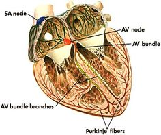 AV and SA Nodes: Electrical System of the Heart: Heart Nodes