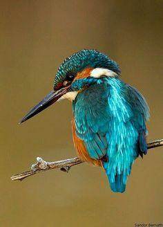 Common Kingfisher (Alcedo atthis) by Sandor Bernath All Birds, Little Birds, Love Birds, Pretty Birds, Beautiful Birds, Animals Beautiful, Animals Amazing, Common Kingfisher, Kingfisher Bird