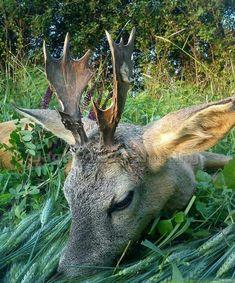 A Moose Buck