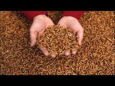 How To Raise Meal Worms To Feed Your Chickens and Fishing Chicken Treats, Chicken Feed, Chicken Coops, Keeping Chickens, Raising Chickens, Raising Mealworms, Meal Worms Raising, Farming, Worm Farm
