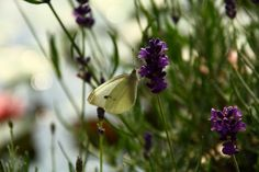 Vlinders overal
