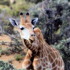Luke de Villiers _ Photography #Luke de Villiers #Photography #Rasberydays #theotherbarman #Africa Philippe, Stock Photos, Photography, Animals, Image, Ideas, Design, Fotografie, Animales