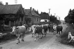 Nyomj egy Lájkot ha ez a fotó mond még neked valamit! Old Photography, Retro Images, The Old Days, Hungary, Agriculture, Old Photos, Retro Vintage, Cow, Old Things