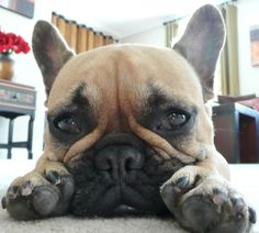 Frenchie face... My French teacher HATES these. It doesn't help that she has it as her House mascot.... lol