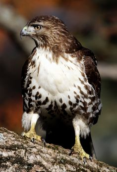 Red Tailed Hawk by H. Powers**
