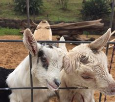 These goats at the surfing goat dairy Maui https://ift.tt/2GpzCN9