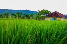 Bali rice field