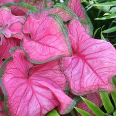 fancy-leafed caladium (caladium bicolor)