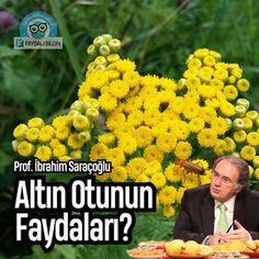 Altın Otunun Faydaları Nelerdir? | Prof. İbrahim Saraçoğlu @faydalibilgin