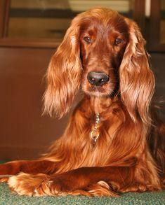 Irish Setter-Ginger Dog!