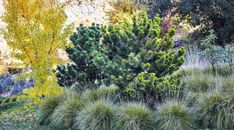 Lessons from a California landscape on designing a subtle approach to fall color. Fall Plants, Garden Care, Autumn Trees, Season Colors, Vegetable Garden, Gardening Tips, Grasses, Dwarf, Home And Garden
