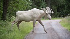 File photo -- In this July 31, 2017 file photo a rare white moose is spotted in Gunnarskog, Varmland province, Sweden. There are only around 100 white moose in Sweden. They aren't albino but instead grow white fur due to a generic mutation. (Tommy Pedersen / TT via AP)