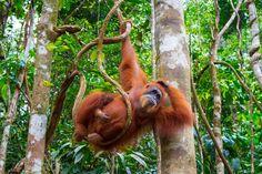 Highlights der Inselperlen Rundreise - Sumatra - Gunung Leuser National Park mit wilden Orang Utans