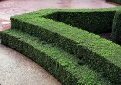 Tiered boxwood border takes several years to achieve, but the wait and work is worth it. www.kbchome.ca