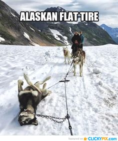 sled dogs, funny animals, funny dogs, flat tire, funny pictures