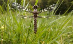 Dragonfly symmetry
