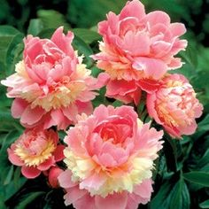 Sorbet Peony - just ordered this and can't wait for it to arrive :)